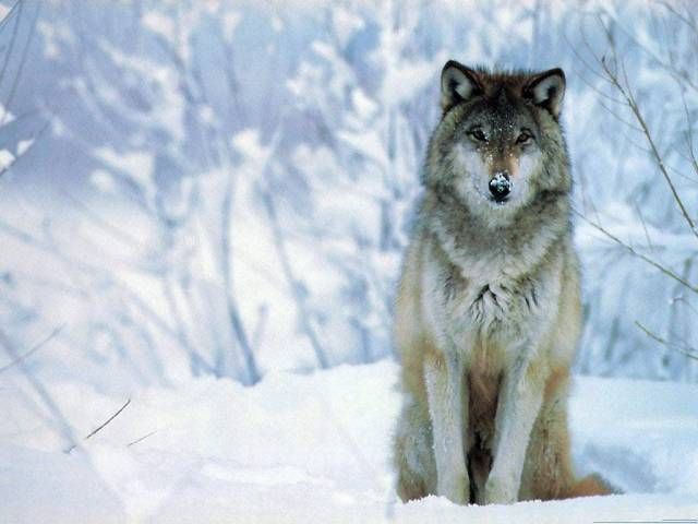 http://king-animal.blogspot.com.au/2012/07/wolf.html#.UsTquXn5i04