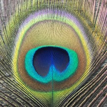 A peacock feather was believed to protect the birthing woman and ease labour pains